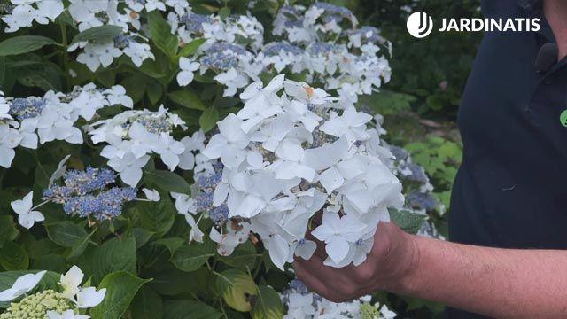 flores estériles de la Hortensia lacecap
