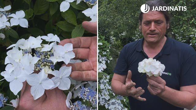 Hortensia lacecap y hortensia macrophylla