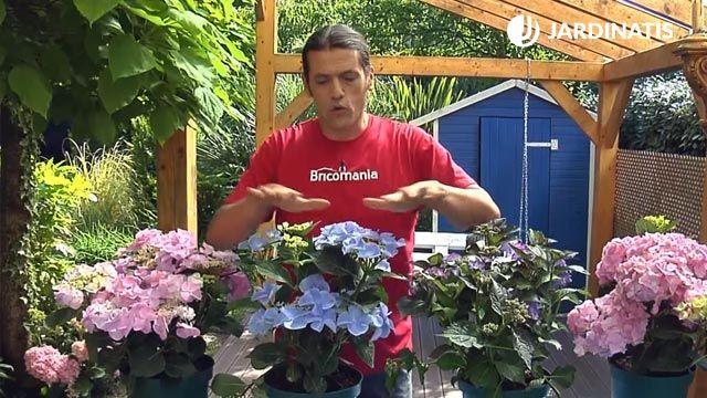 Hydrangea macrophylla Fresbee Blue