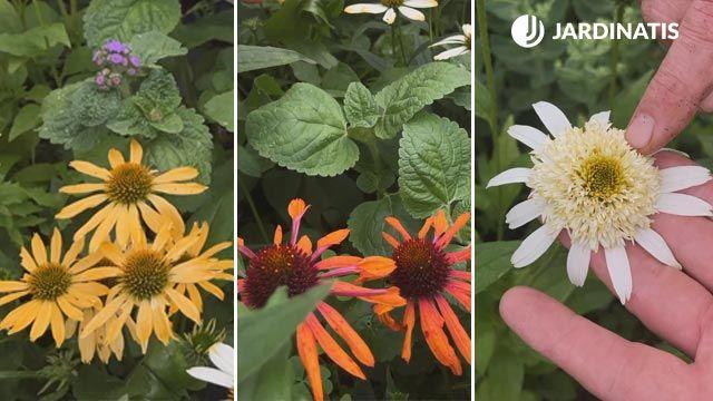 nuevas variedades de echinaceas