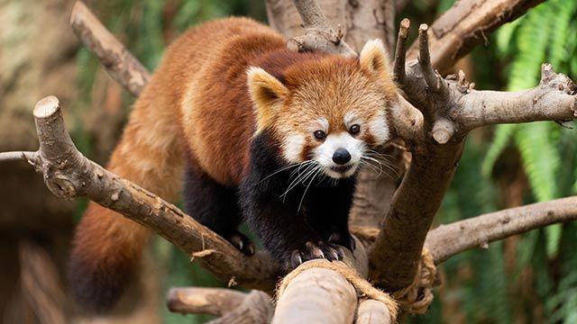 Panda rojo sobre un árbol