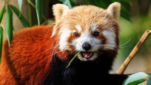 Panda rojo comiendo bambú