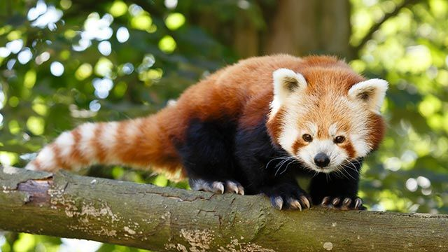 Panda rojo sobre una rama