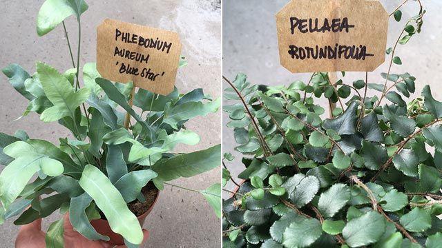 Helecho Phlebodium Aureum