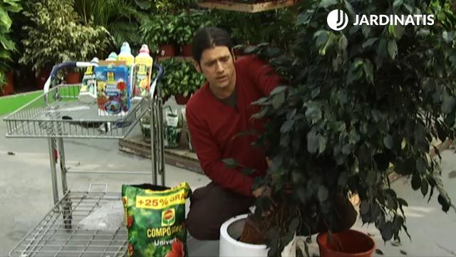 ¿Por qué se le caen las hojas al ficus?