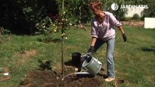 Riego del ciruelo plantado en el jardín