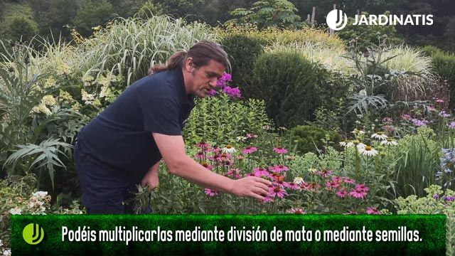 Cómo se reproducen las echinaceas