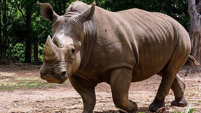 Rinoceronte andando