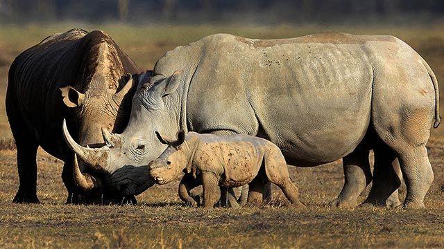 Familia de rinocerontes