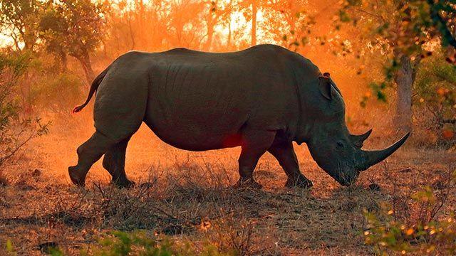 Rinoceronte en el atardecer