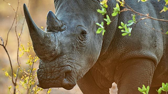 Rinoceronte de frente