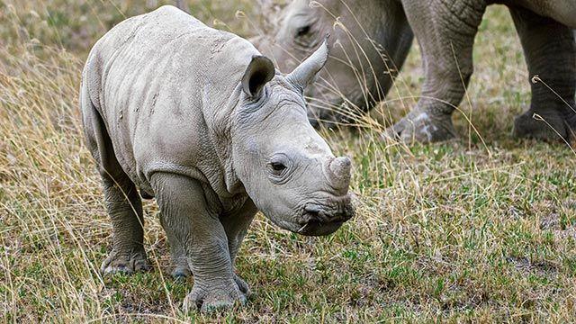 Cría de rinoceronte