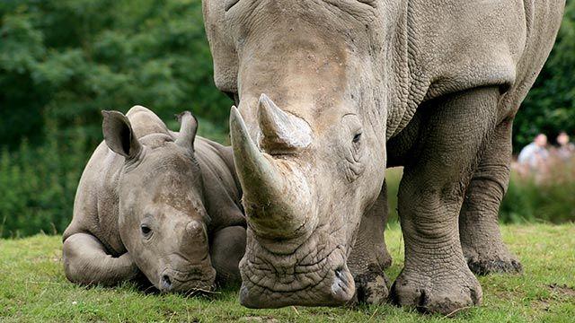 Madre rinoceronte junto a su cría