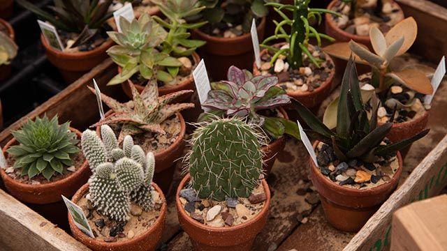 Proteger cactus y suculentas del frío