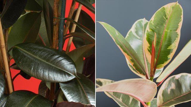 Ficus Elástica Abidjan y Ficus Elástica Ruby