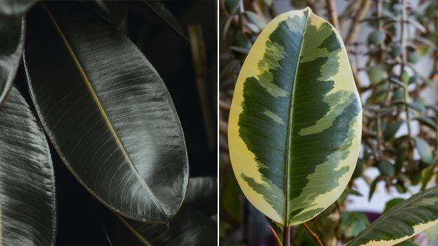 Ficus elástica Borgoña y ficus elástica tineke