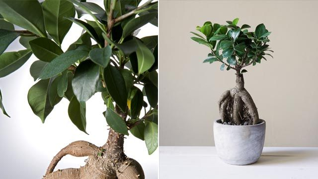 Ginseng bonsái o ficus retusa