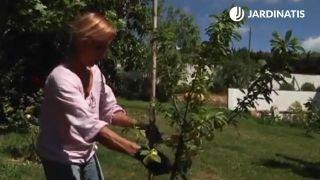 Cómo plantar un ciruelo en el jardín
