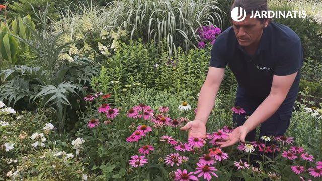 variedad de echinacea púrpurea