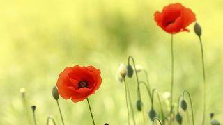 Flores de aquilea en el campo.