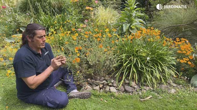 Floración de la amapola de california en el jardín