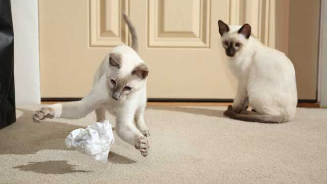 Gato siamés jugando