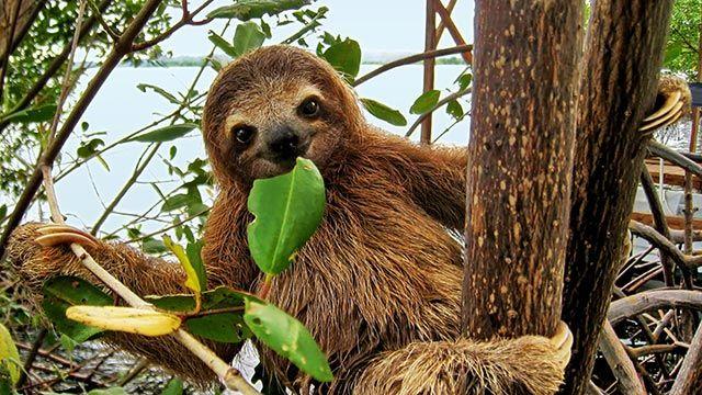 Perezoso comiendo hojas