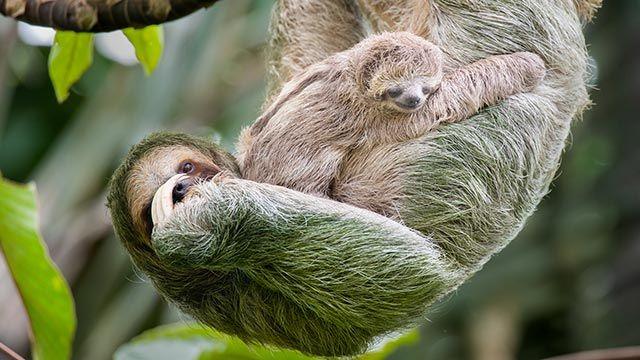 Madre perezosa con su cría