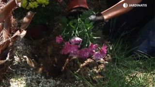 Plantación de los crisantemos en el jardín - Paso 1