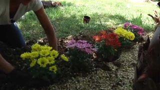 Plantación de crisantemos en el jardín - Paso 2