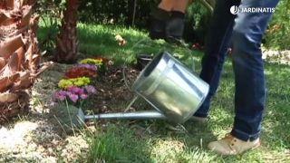 Plantación de crisantemos en el jardín - Paso 3