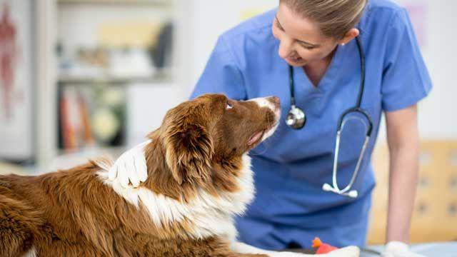 Revisión veterinaria de la perra