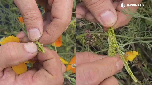 Cosecha de semillas de la amapola de california