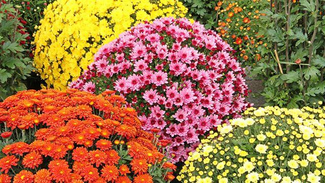 Crisantemos: características, cuidados y plantación
