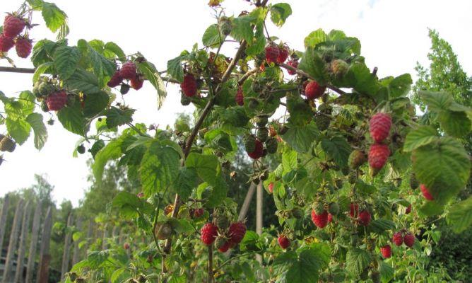 Los arbustos de la frambuesa en la Comunidad de Jardinería ...