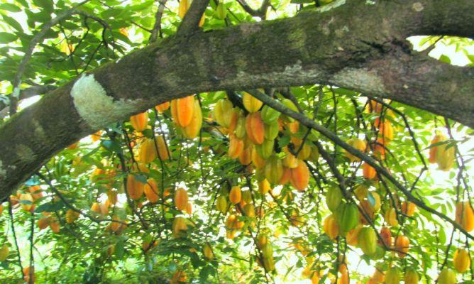 Fruta estrella o carambola en la comunidad de jardiner a - Hogarmania jardineria ...