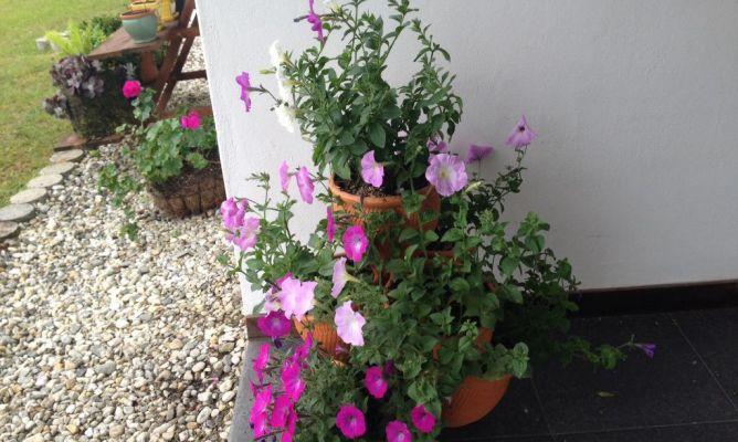 Petunias en la comunidad de jardiner a - Hogarmania jardineria ...