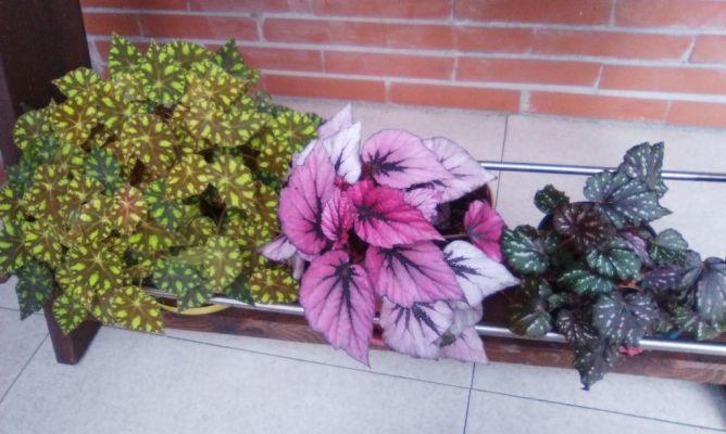 Begonias en la comunidad de jardiner a - Hogarmania jardineria ...